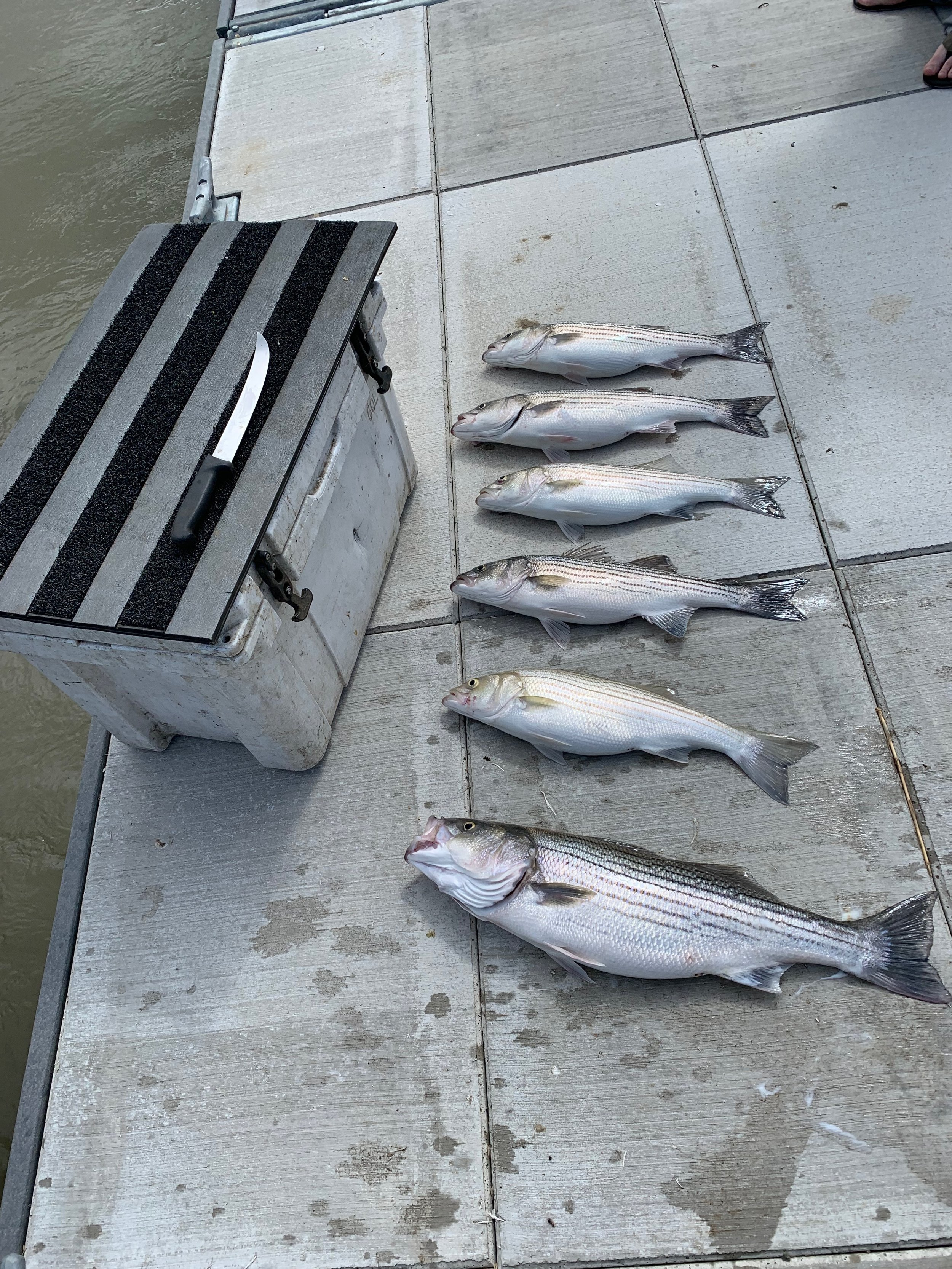 Fishing Guide Mike Rasmussen of Mike's Guide Service ( 530-722-8876 ), and Corning, Ca residents Oscar Nerey and Nick Kanabroki, show off their limits of striped bass they caught on the Sacramento River near Colusa, Ca on April 16, 2019.