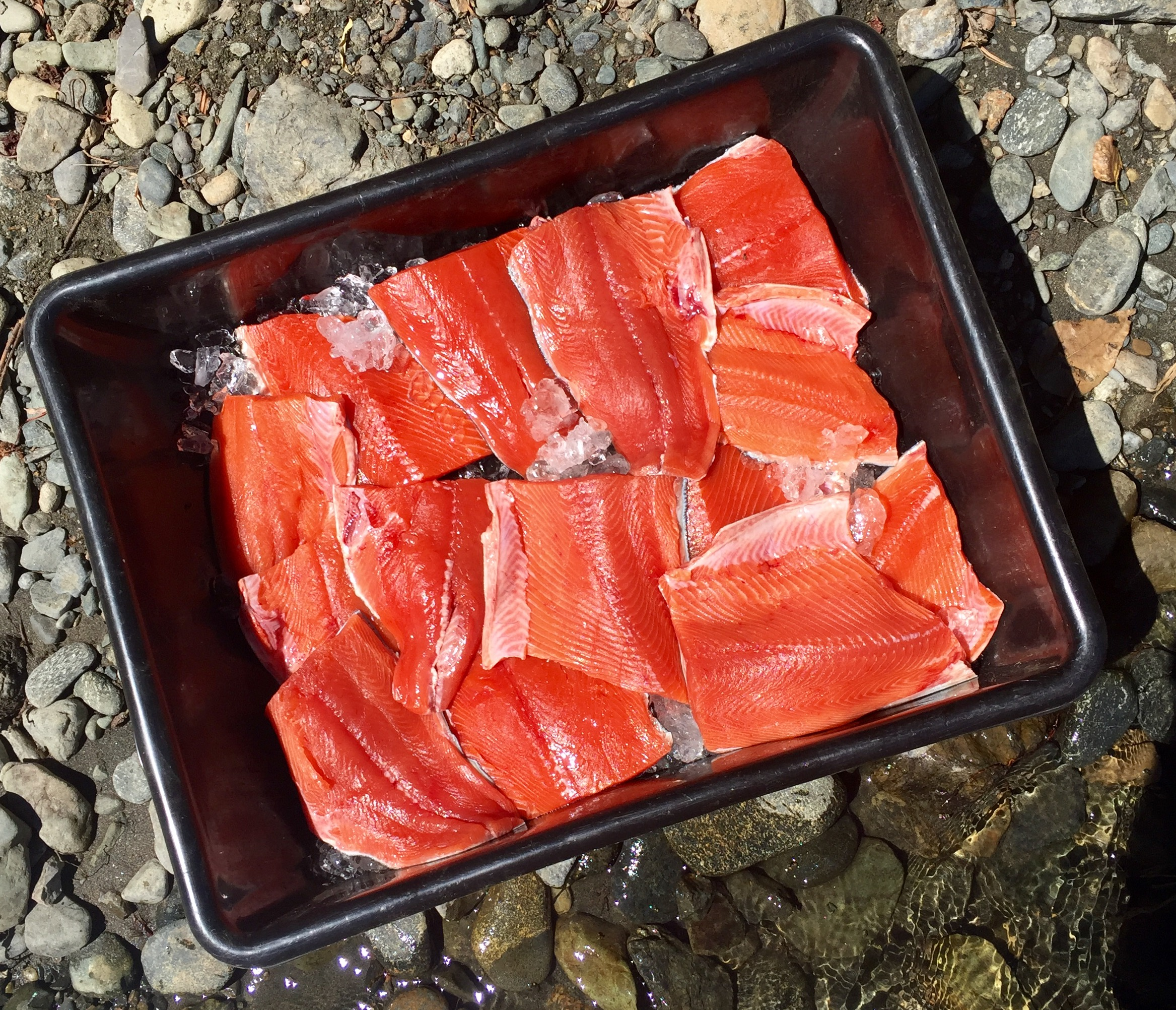 Spring Run Chinook Salmon cut brilliantly and are the best salmon to eat for consumers. These fillets were processed by Sacramento River salmon fishing guide Dave Jacobs of  https://www.salmonsacriver.com  after a day spent guiding on Northern California's Trinity River.
