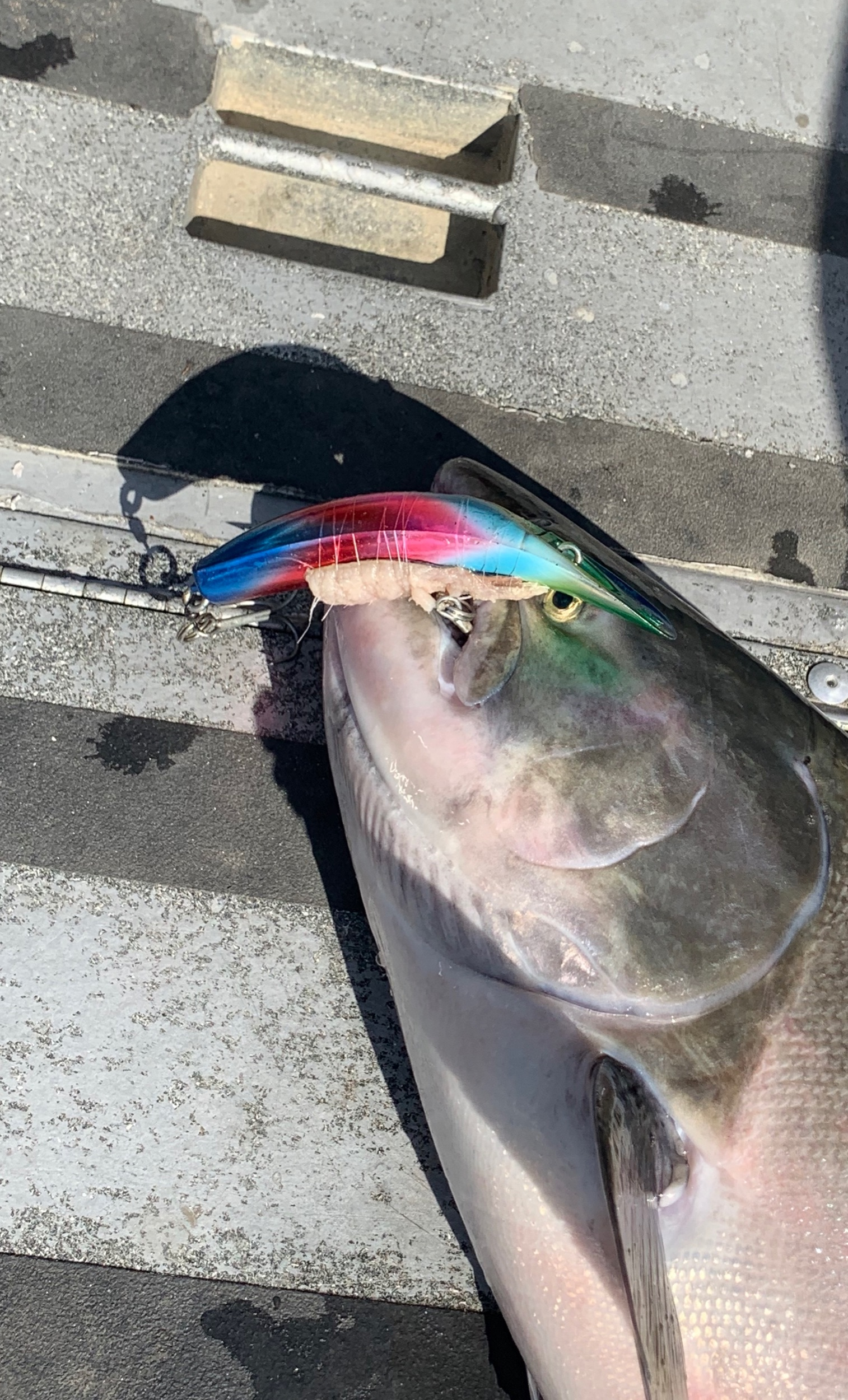This plug biter was caught by client Ruben from Chico, Ca on August 8, 2019 durring a guided fishing trip with salmon fishing guide Ryan Tripp. This wild looking Kwikfish got it done for Ruben on the Sacramento River near Bend, Ca.