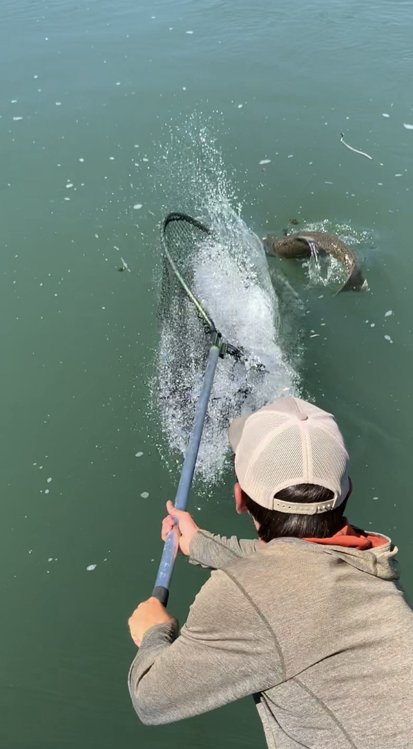Sacramento River salmon fishing guide Ryan Tripp reaches out to sneak the net in front of a feisty king salmon. Photo taken on August 17, 2019.
