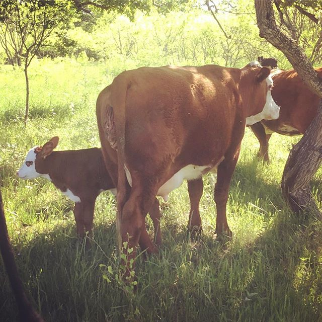 There's a new baby on the farm this week! Just in time to meet the @spectrumtrail runners on Saturday. Trail run tickets still available - link in bio.