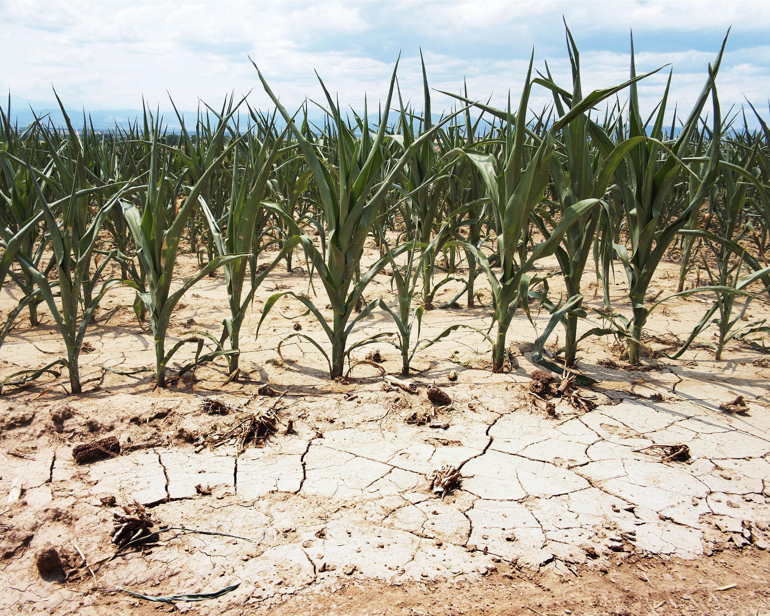 thirstycorn1.jpg
