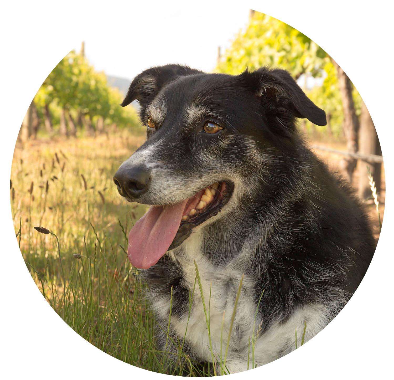 dog in vineyard, pet photo