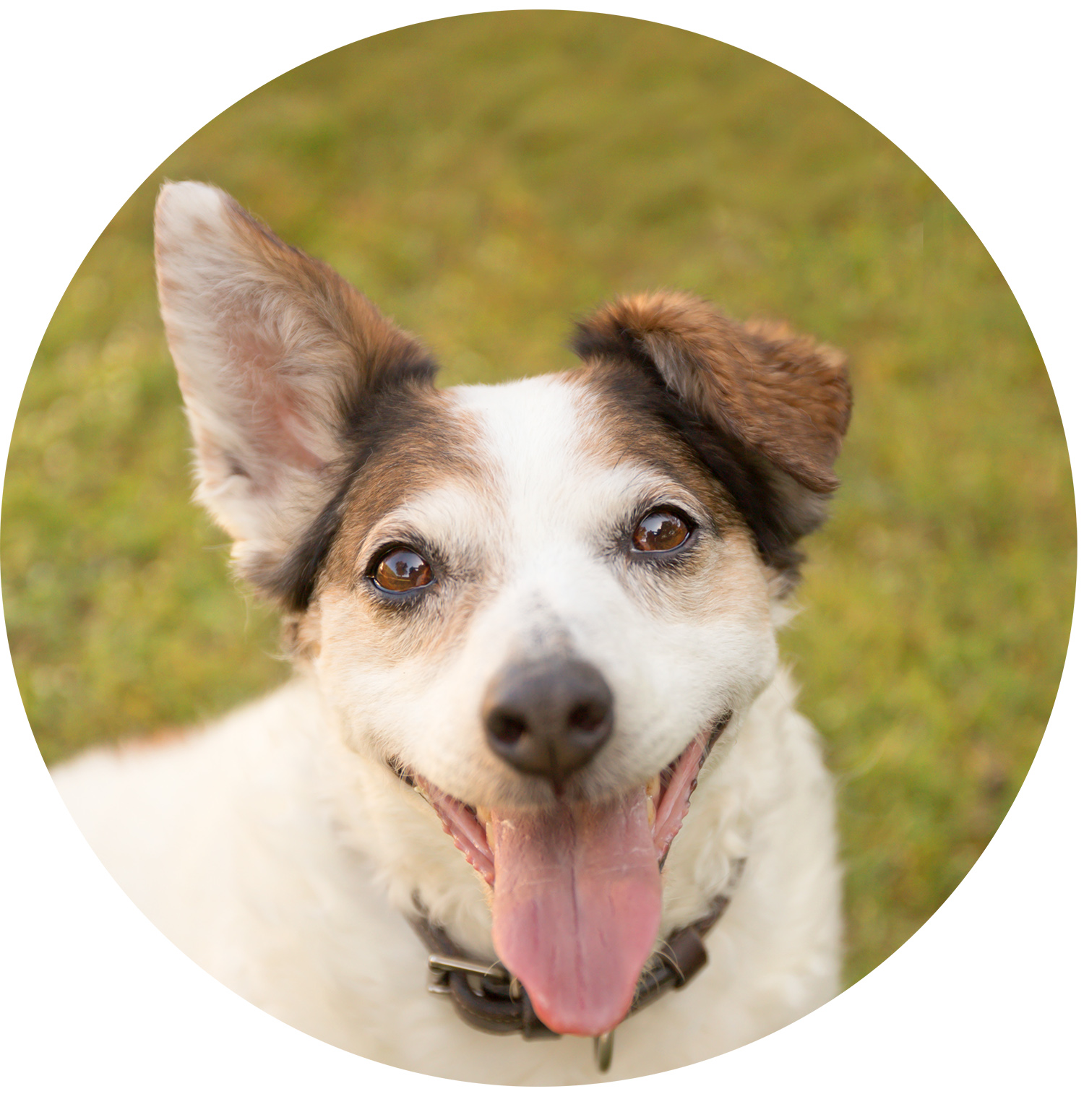 jack russell, dog on grass, dog photo