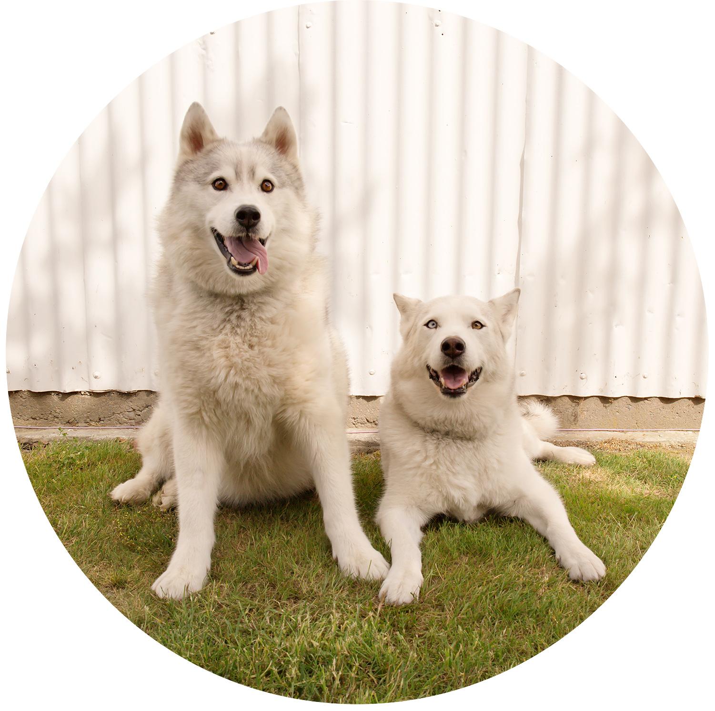 two siberian huskies, dog photo