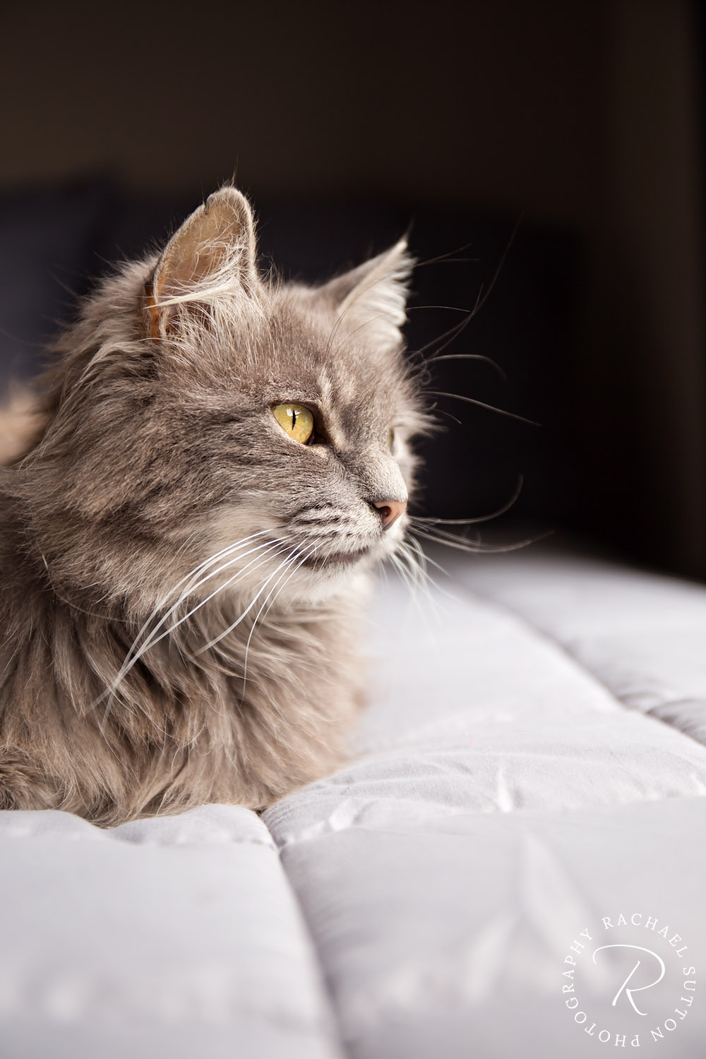 Cat lying on bed in sunlight, pet photography