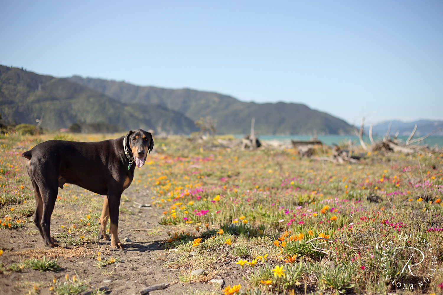 Doberman, dog on Rarangi beach amongst wild flowers, pet photography