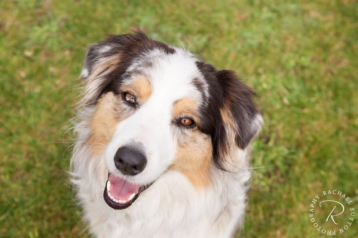 pet photography, Australian Shepherd, dog looking up smiling at camera