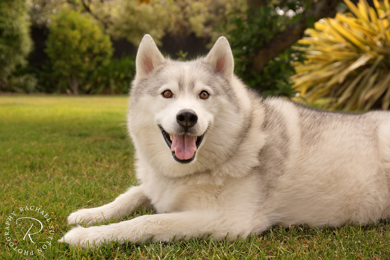 pet photo, Siberian Husky, dog laying on the grass