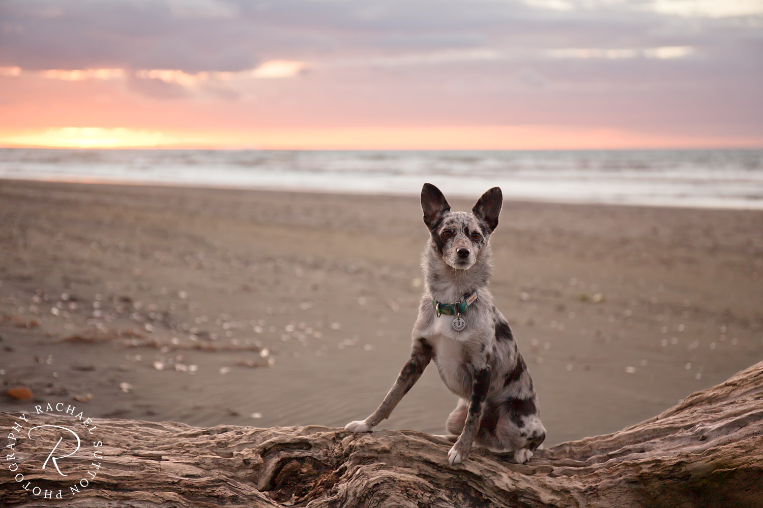 Dog, sitting on log at sunset on the beach, dog photo