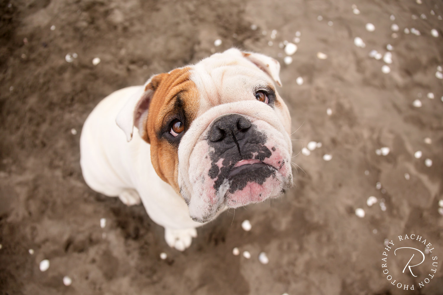 pet photo, Bulldog, dog, puppy dog eyes at camera on the beach, seashells on sand