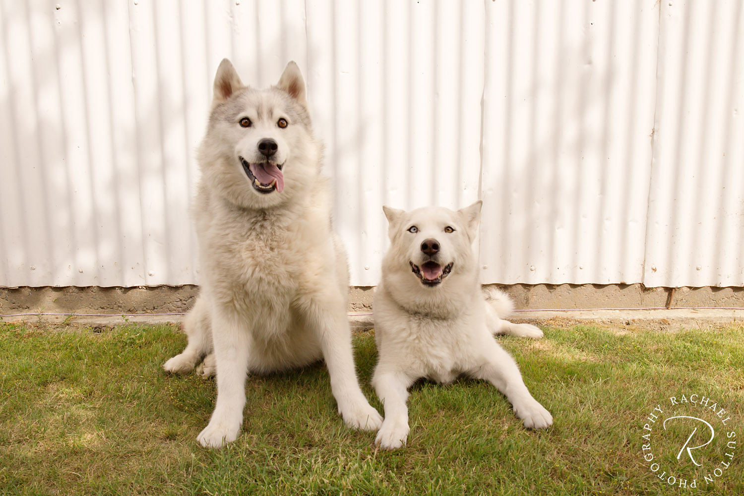Dog Photo, Two Siberian Huskies sitting together in from of shed