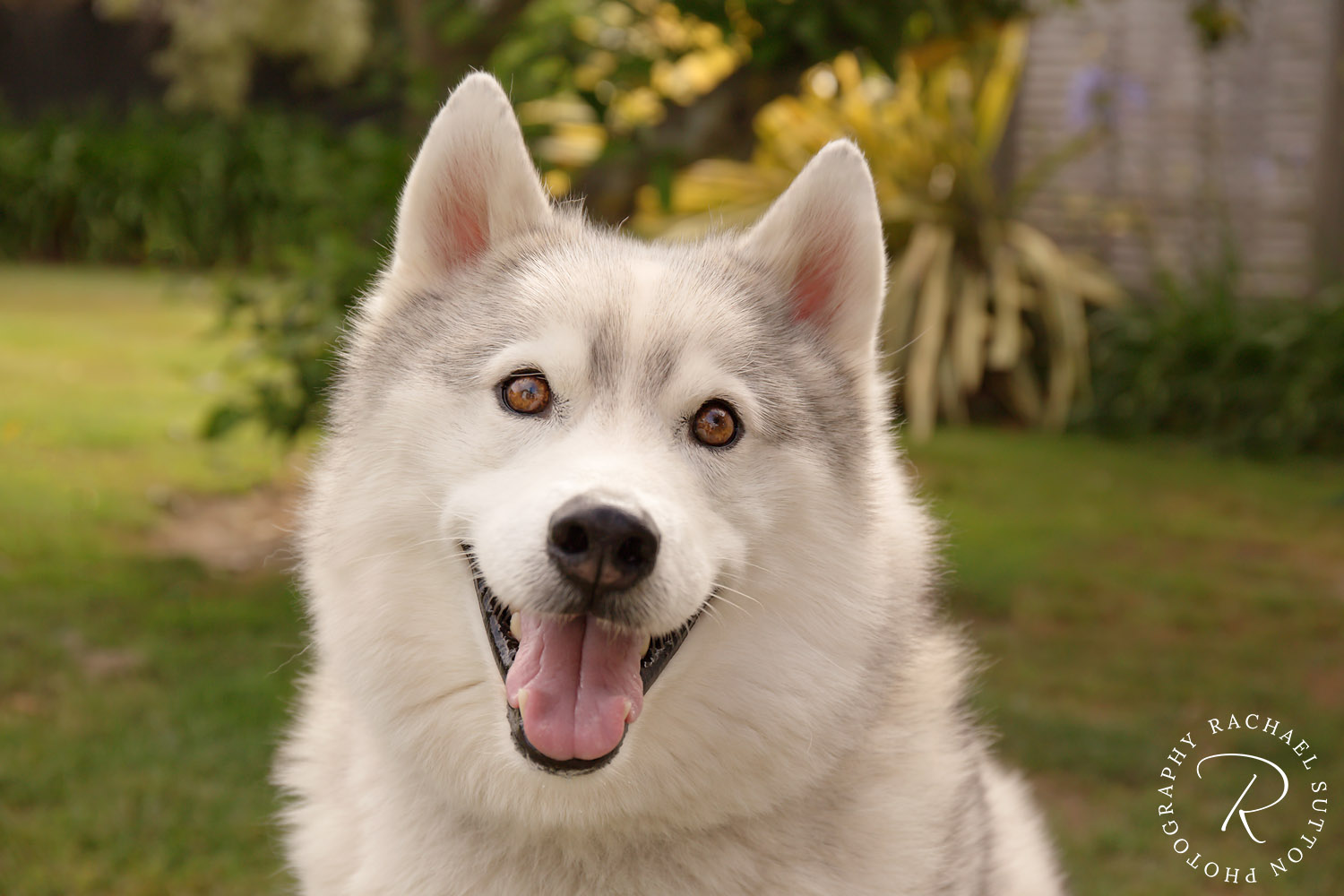 Pet photo, Husky, Siberian Husky, dog looking at camera
