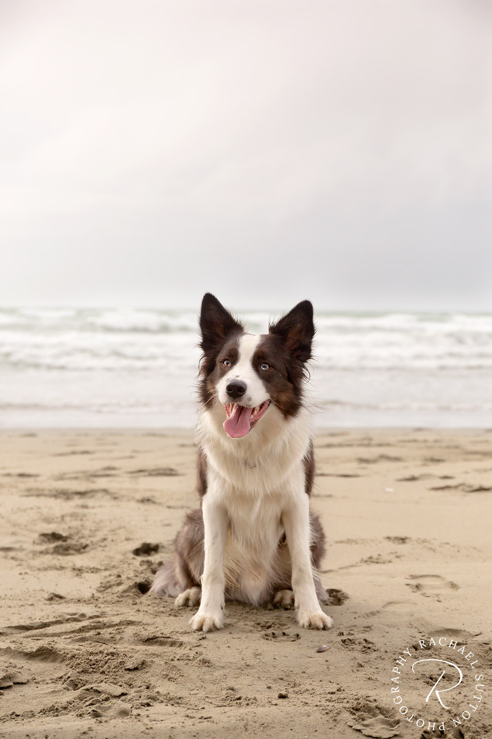 Dog photo, Border Collie, Dog sitting on the Brighton Beach in Christchurch