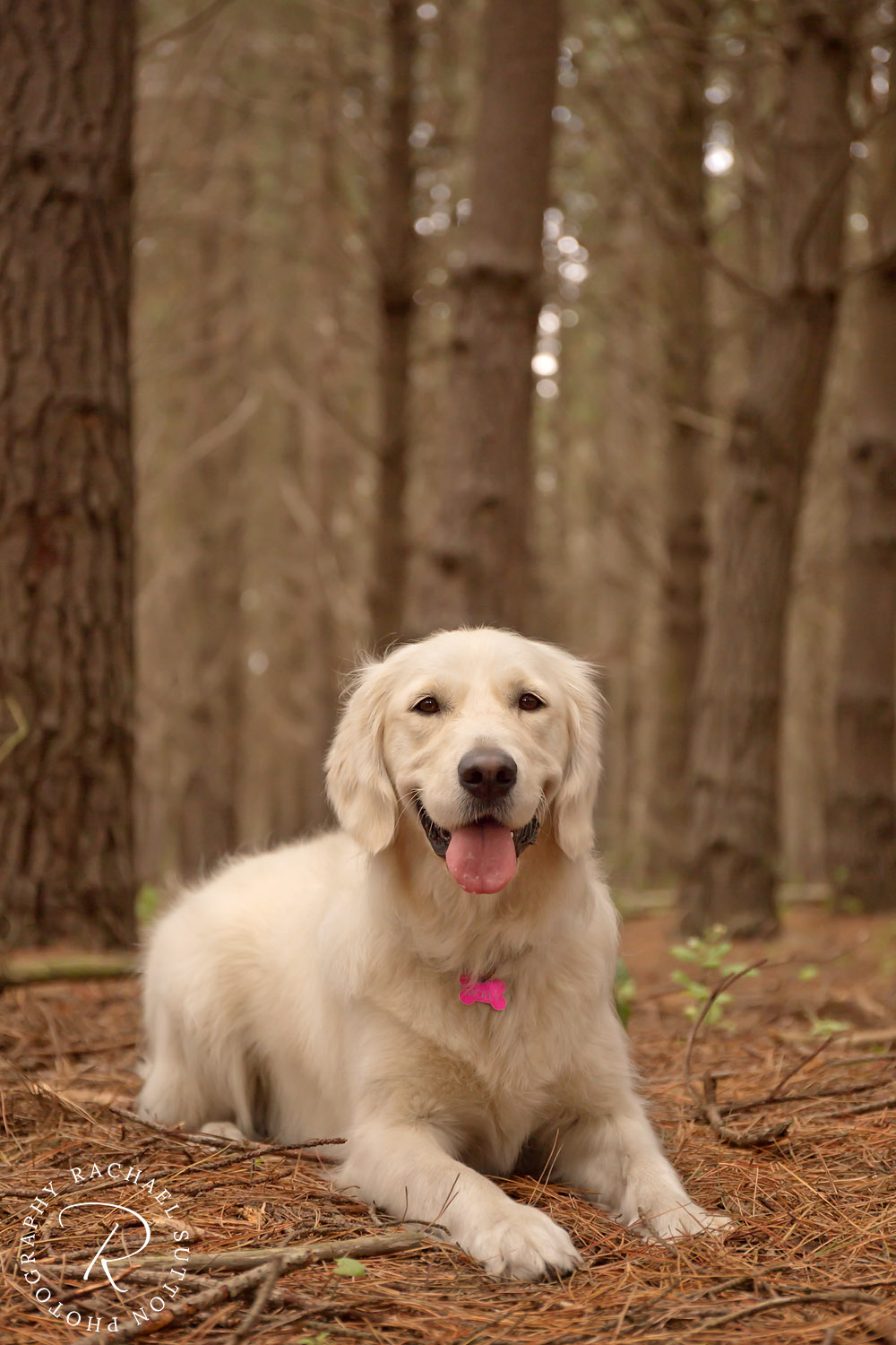 dog in forest with tongue, pet photography