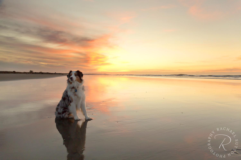 Sunset West Coast Beach New Zealand, Dog photo