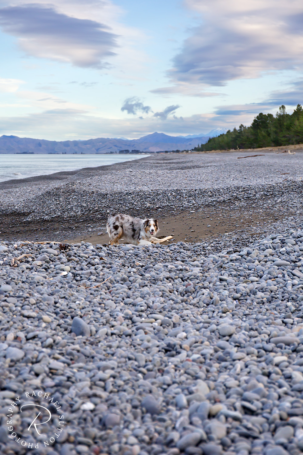 Rarangi Beach, Blenheim, dog walk adventures I Rachael Sutton Photography, New Zealand Pet photography