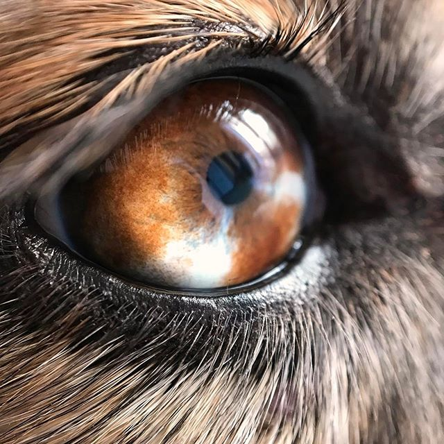 Rainy days ☔️ are perfect for those extra snuggles from the warmest member of the family or perhaps it's the perfect reason for her to keep a close eye on the fridge door - just in case! 👀🙈 #eyesarethewindowtothesoul #eyelinergoals • • • • #furchild #dogeyes #macromood #eyelineronpoint #naturallightphotography #dogsarefamily #petlifenz #aussiesofinstagram #dogsofnz #thecanineway #whatsupdognz #dogumented #happydogs #aussielove #petphotos #bestwoof #instapets #australianshepherd #dog_features #ilovemydog #marlborough