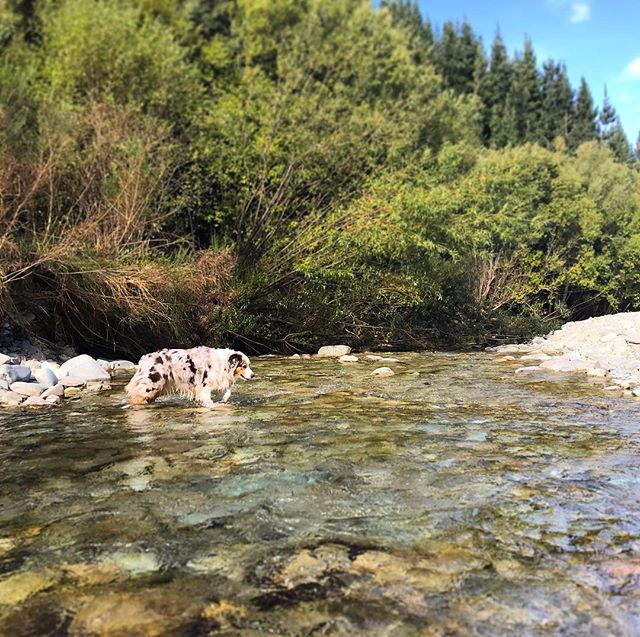 Back when it was so hot we had to keep cool in the river 😳 come back summer we were not ready at all!  #sunlovers #onlylastweekend #sandfliesarebitingme • • • • #furchild #activedog #riverfun #dogsarefamily #petlifenz #aussiesofinstagram #dogsofnz #thecanineway #whatsupdognz #dogumented #happydogs #aussielove #petphotos #bestwoof #instapets #australianshepherd #dog_features #ilovemydog #marlborough #dailybarker #instadog #brillianteveryday #summercomeback