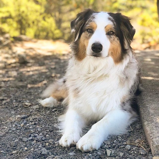 "Such a sweetheart ❤️️ but don't let her sweet face and nature fool you for a second she has a few tricks for those unsuspecting humans. Say ""hello"" to her as you walk pass and it's all on! 🙈🐶#socialbuttlerfly #loveskisses #wouldntchangeherfortheworld • • • • • #dogsarefamily #dogfriendly #happydog #dogsonadventures #petlifenz #activedog #dogsofnz #whatsupdognz #adventureswithdogs #nz #dogumented #aussiesofinstagram #aussielove #onlymarlborough #lovethisdog #brillianteveryday #dogsofinstagram #dogscorner #instadog #lifewithdogs #australianshepherd #petphoto #bluemerleaussie  #nzdogs"