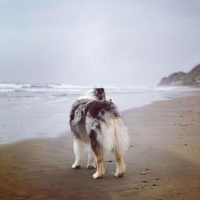 Beware of the wigglebutt... the best kind of butt 🐶💛 #beachlover #wigglebutt • • • • #dogsarefamily #dogfriendly #happydog #dogsonadventures #petlifenz #activedog #dogsofnz #whatsupdognz  #adventureswithdogs #nz #dogumented #aussiesofinstagram #aussielove #hawkesbay #dogsofinstagram #dogscorner #instadog #lifewithdogs #northisland #beautifulnz #australianshepherd #petphoto #bluemerleaussie  #nzdogs #thecanineway #nzbeaches #getmetohawkesbay