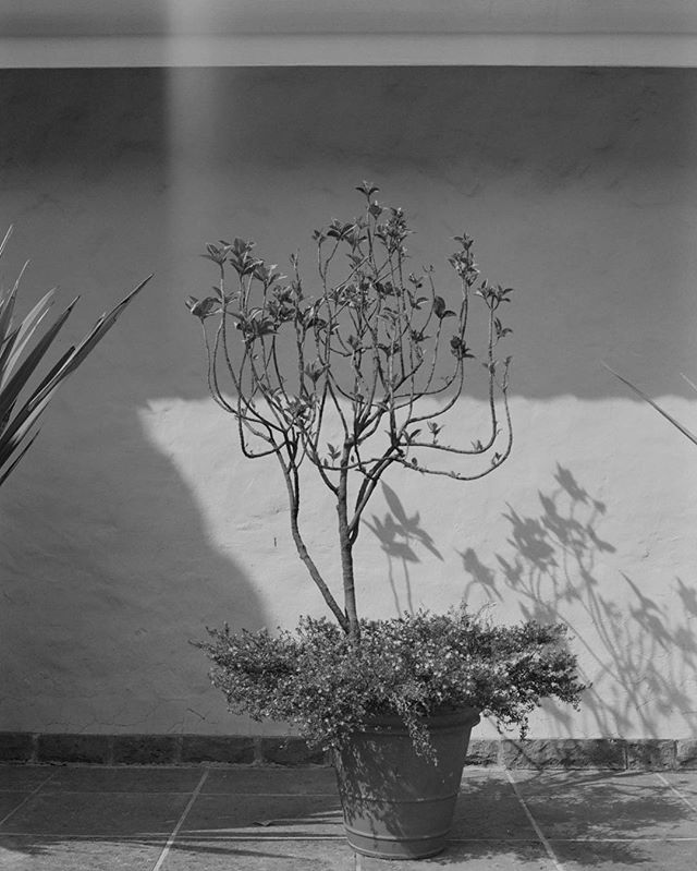 Guadalajara, Mexico #quietobservations #heat #sun #plant #blackandwhite_photos #photography #film #120film #mexico