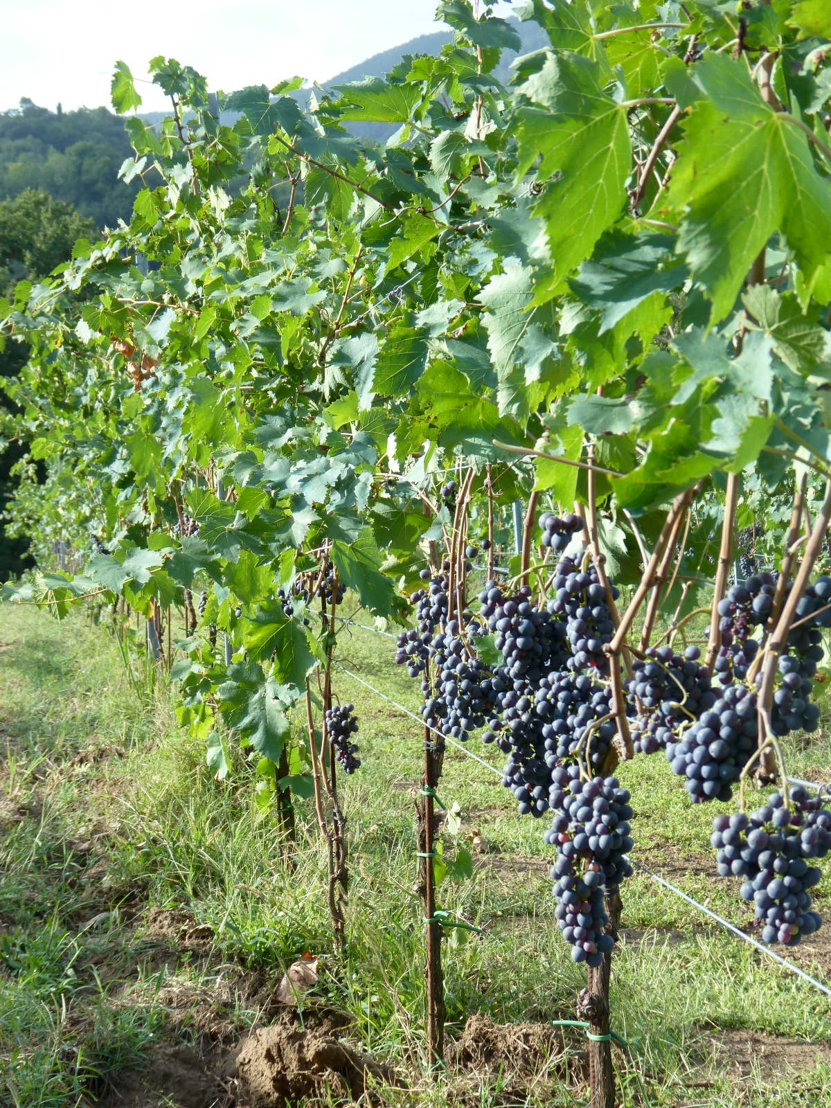 Our-HelpX-Vineyard.jpg