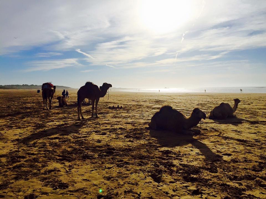 Camel silhouettes on Essaouira beach