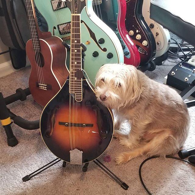 """Maybe Dad will scratch me instead of practicing."" @jackattack624  #jackrussell #jackrussellterrier #dogsofinstagram #mandolin #Guitar #ukulele"