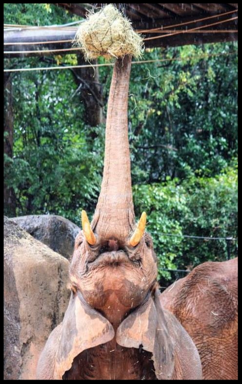An African Elephant at Zoo Atlanta stretches to snag browse from a lofted feeder device.  (Photo Credit: T. Phillips)