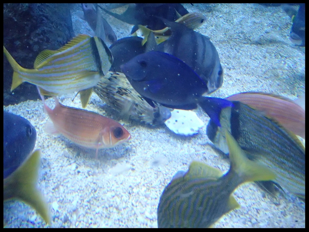 A menagerie of reef fish - squirrelfish, grunts, spadefish, surgeonfish, and a puffer - work to dislodge vegetables from a block of plaster at the Cameron Park Zoo.  (Photo Credit: D. Estes)