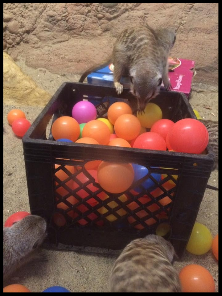 Meerkats at Capron Park Zoo investigate a size-appropriate ball pit - there's likely tidbits of food hidden among the balls.  (Photo Credit: S. McCann)