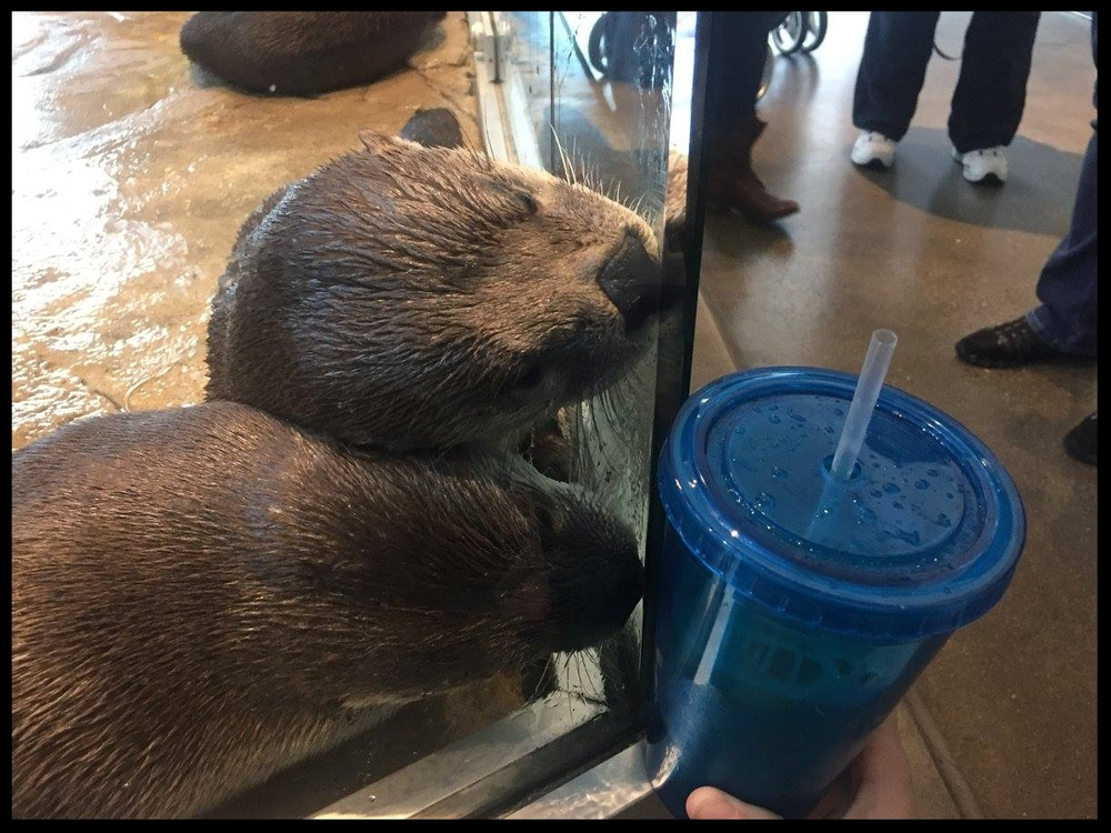 The weird things guests do are also novel and enriching! Here North American River Otters investigate a guest's re-usable cup.  (Photo Credit: D. Estes)