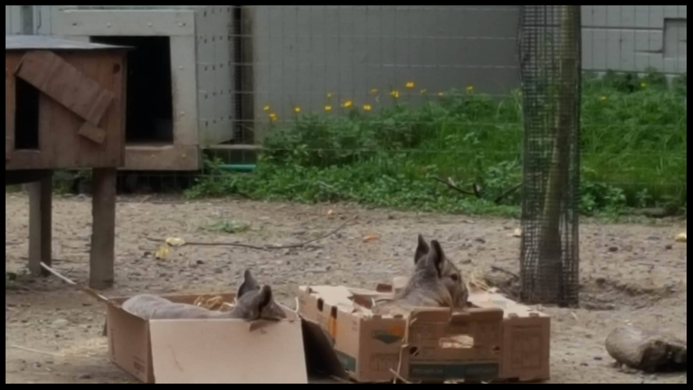 If we fits, we sits: Patagonian Cavies at the Sequoia Park Zoo utilize cardboard fruit boxes filled with straw as temporary beds.  (Photo Credit: L. Miller)