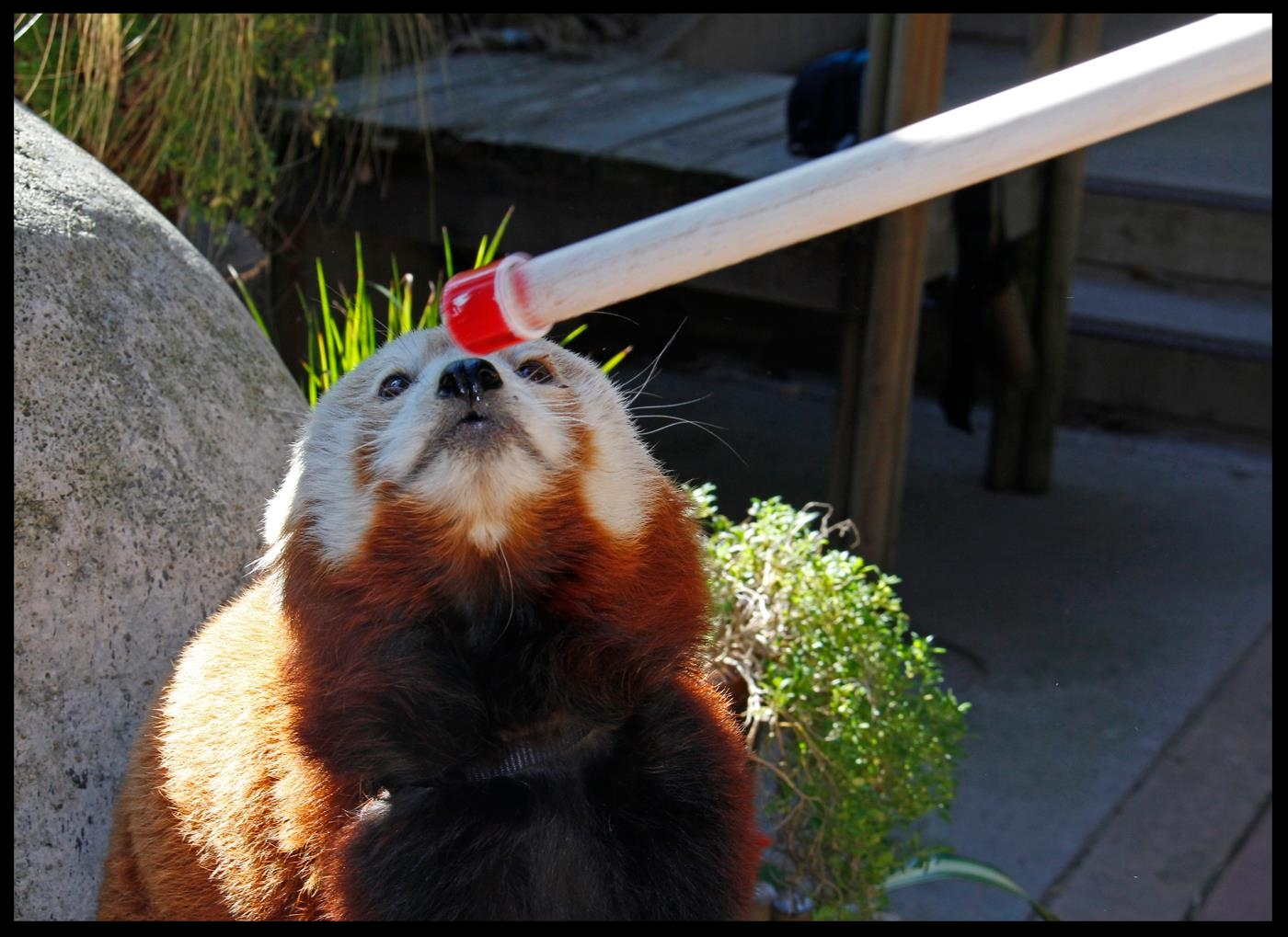 "A red panda at the Sacramento Zoo doing a ""nose target"" behavior.  Photo Credit: M. Owyang"