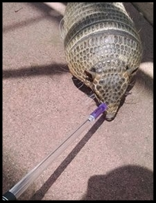 "A six-banded armadillo doing a ""nose target"" at the Sacramento Zoo.  Photo Creidt: M. Owyang"