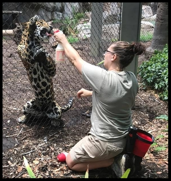 "A jaguar at the Houston Zoo doing a ""body presentation"" behavior at the exhibit fence, while being reinforced with milk from a squirt bottle.  Photo Credit: K. Buckley-Jones"