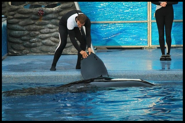 "An orca at SeaWorld Orlando doing a ""flipper presentation"" behavior during a show.  Photo Credit: M. Hummel-Uzzi"