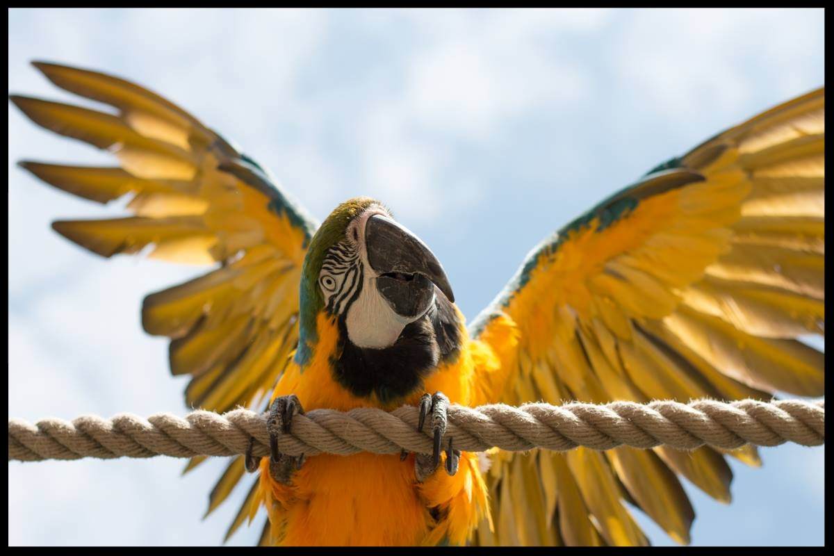 "A blue and gold macaw doing a ""wing presentation"" behavior at the Chessington World of Adventures Resort.  Photo Credit: L. Partridge"