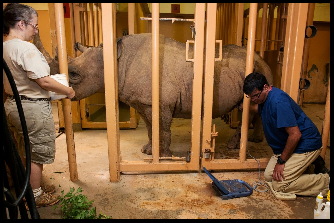 A black rhino at Zoo Atlanta stands patiently while a veterinarian ultrasounds her abodmen to check for a successful pregnancy.