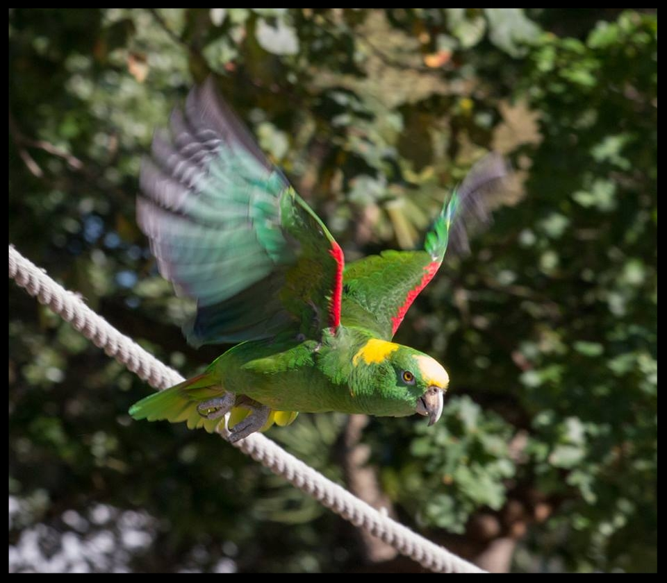 An Amazon parrot at the Chessington World of Adventures Resort shows off its flying skills ..  Photo Credit: L. Partridge