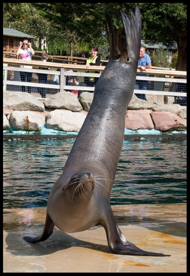 "A California sea lion shows off strength and stamina by doing a ""flipper stand"" at the Chessington World of Adventures Resort.  Photo Credit: L. Partridge"