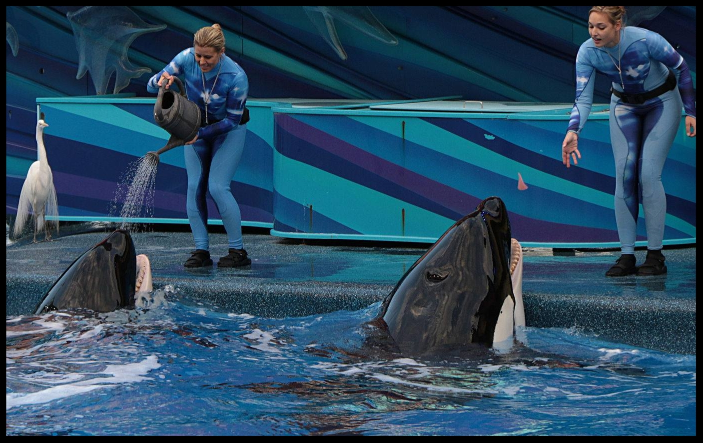 Orcas at SeaWorld Orlando receiving different types of reinforcement: the whale on the left is getting a tactile reinforcer in the form of a pouring watering can, whereas the whale on the right is being tossed a chunk of jello as an edible reinforcer.  Photo Credit: M. Hummel-Uzzi