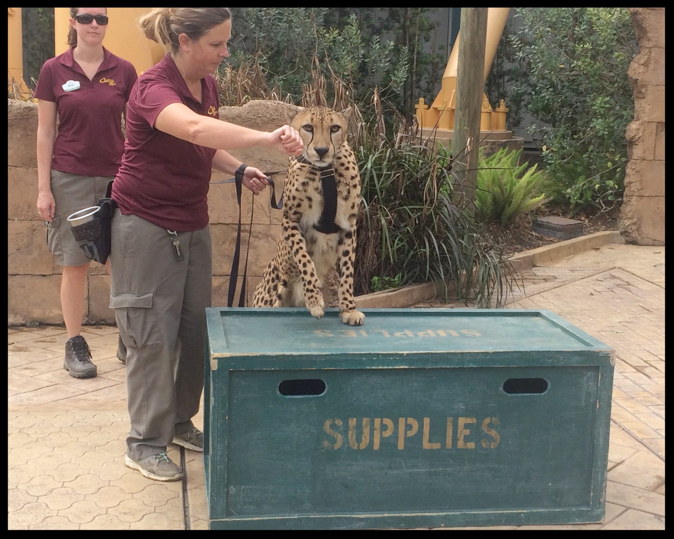 "A cheetah at Busch Gardens follows a ""nose target"" cue up onto a platform during a public demonstration."