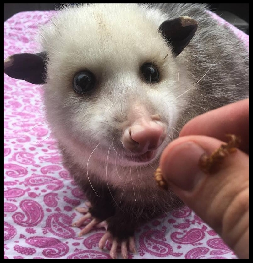 An opossum at the Nashville zoo waits as she is handed a mealworm as a reinforcer.  Photo Credit: J. Belair