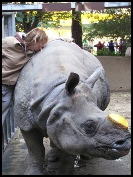 A greater one-horned rhinoceros at the Los Angeles Zoo was trained to allow the application of a special bandage when her horn became cancerous and had to be removed.  Photo Credit: J. Pham