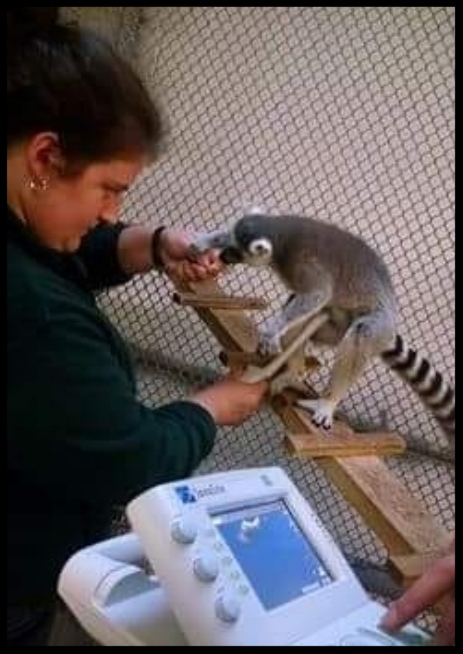 A ring-tailed lemur allows a voluntary ultrasound of her abdomen at the Cameron Park Zoo.  Photo Credit: L. Klutts