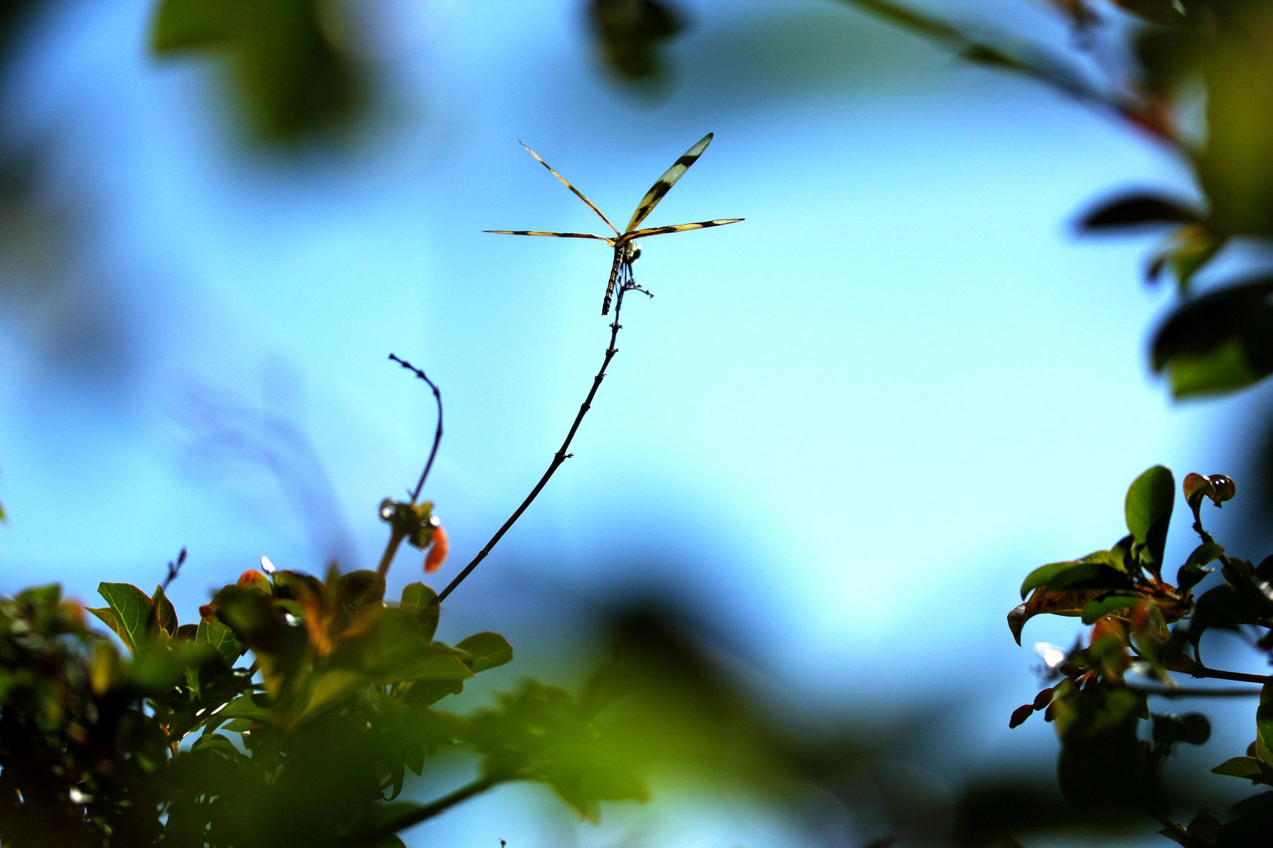 """""""DRAGONFLY"""" Photo: AlasdeOrquidea"""