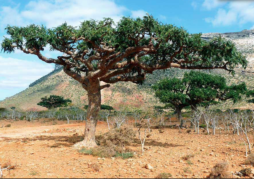 The beautiful and majestic Frankincense tree.