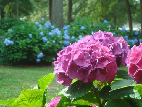 Pink Hydrangea.JPG
